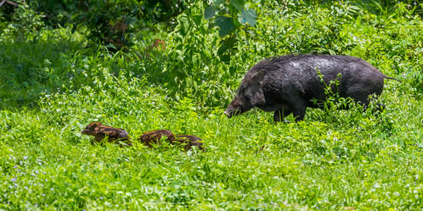 a female wild pig and three piglets