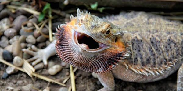 a bearded dragon defends its perch