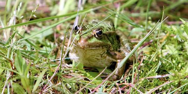 a green frog well hidden behind blades of grass