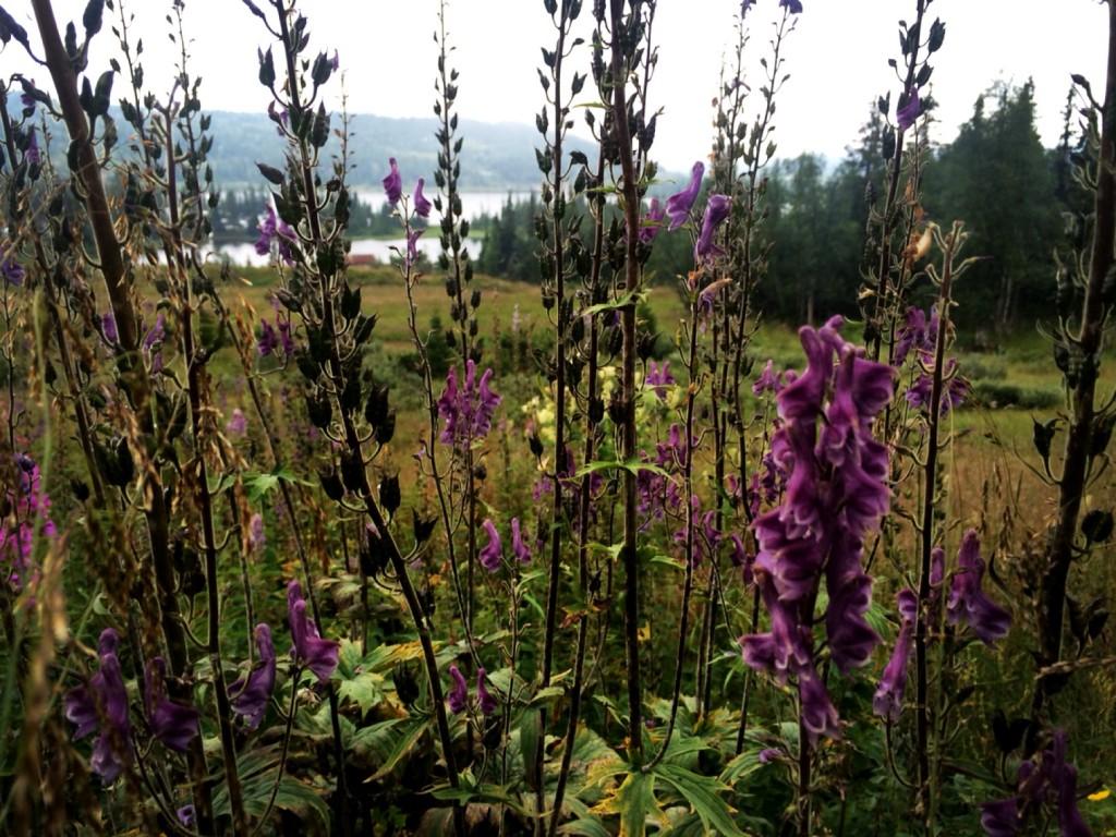 a photorgaph taken through strands of a purple flower looking across a field