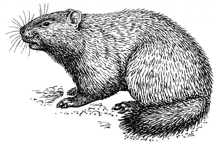 A groundhog.  Public Domain Image, CC0.
