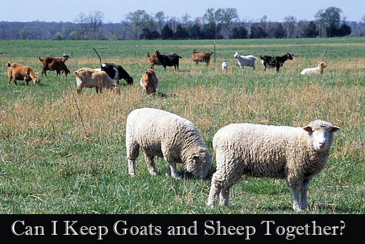 Sheep_and_goats-Natural-Resources-Conservation-Service-1