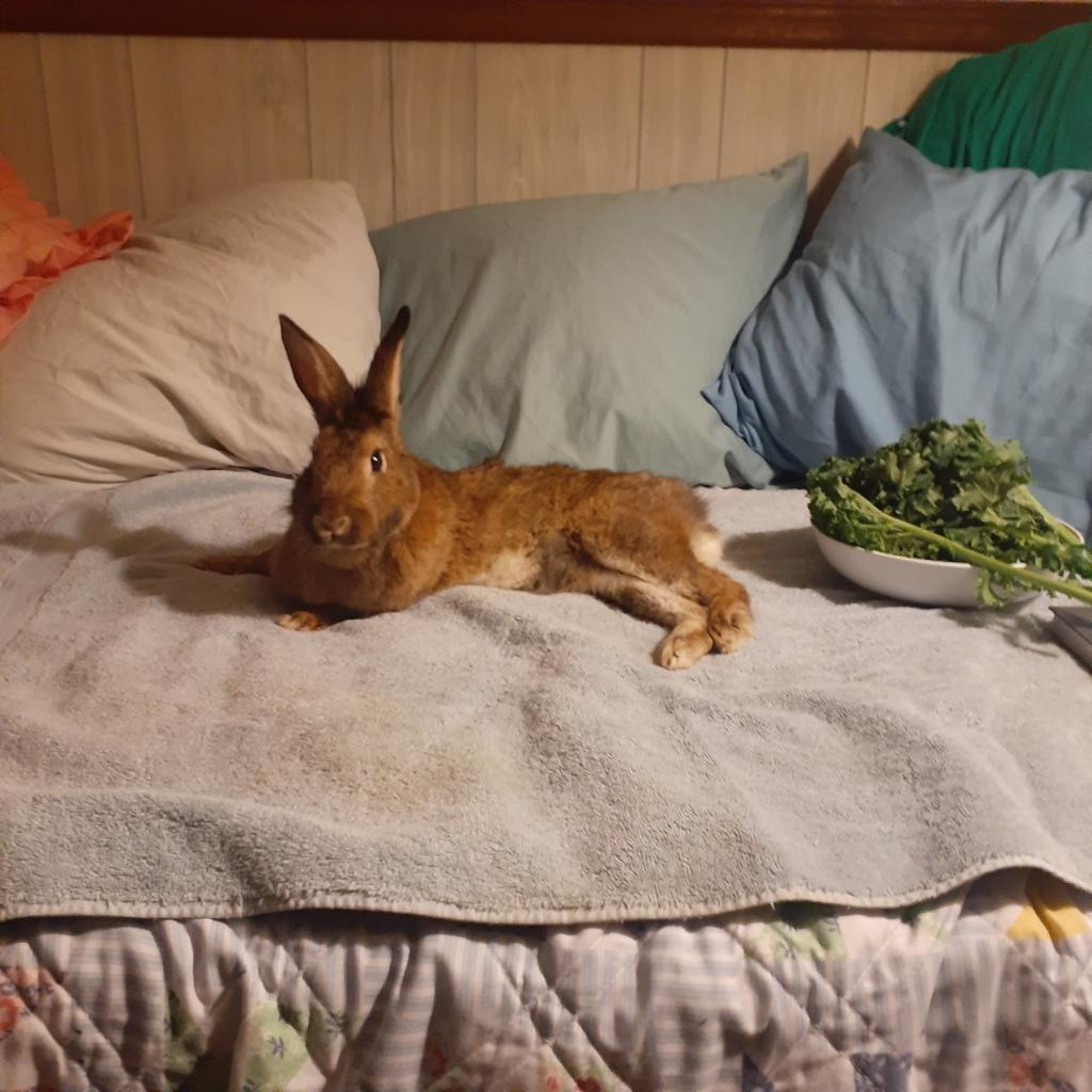 Brown rabbit stretched out, lounging on a bed.