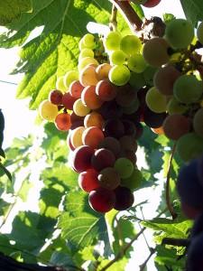 450px-California_wine_grapes_2