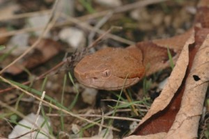 copperhead snake in grass