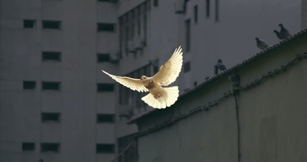 Photo of a white dove against grey buildings, by Sunyu, Unsplash.com, CC0 Licensing