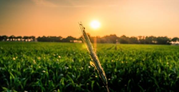 green corn field under sunrise