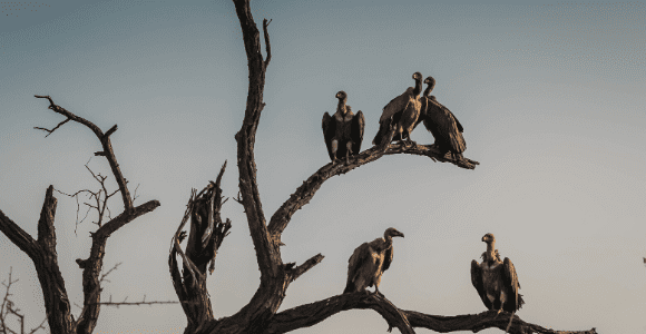 vultures sitting on tree limbs
