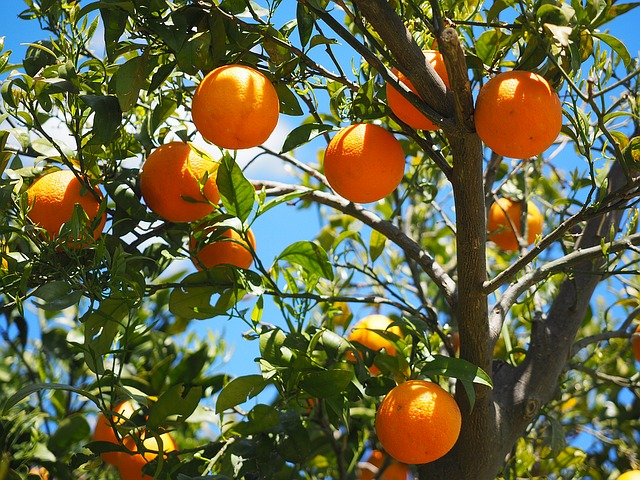 oranges on a tree that represent the fruit of the Holy Spirit