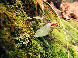 Moss growing on a rock by Mike6271. Image via Wikimedia Commons, CC license 3.0.