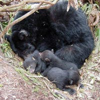 """Black bear mother and cubs """"denning."""" Image via Wikimedia Commons. Public domain."""