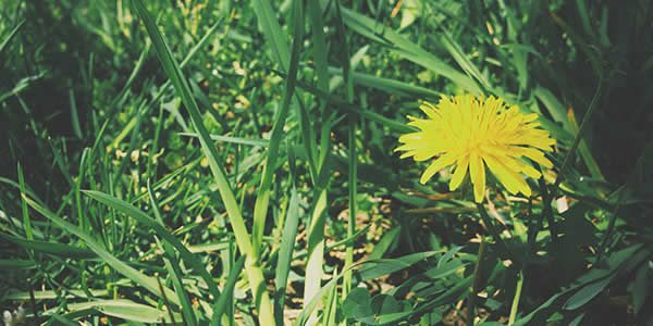 a dandelion surrounded by grass