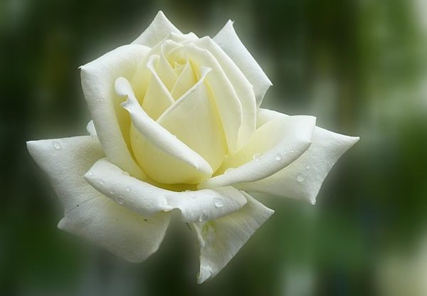 a single white rose