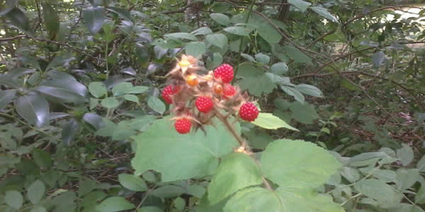 Wineberries, ready to harvest / Morgan Daimler
