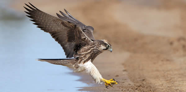 a lanner falcon landing on the ground