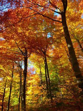 orange, autumn leaves on trees