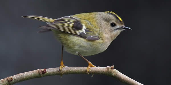"""""""Goldcrest 1"""" by © Francis C. Franklin / CC-BY-SA-3.0. Licensed under CC BY-SA 3.0 via Commons."""