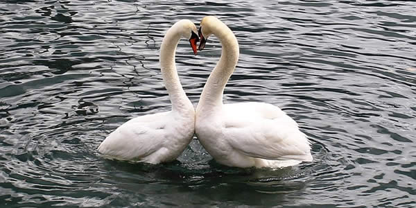 two swans facing each other and appearing to make a heart with their heads and necks