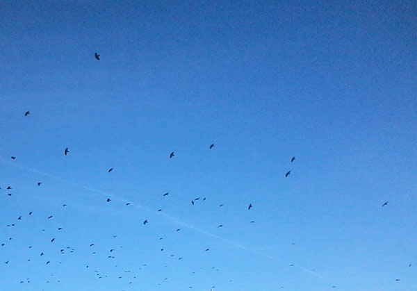 a flock of crows against a blue sky