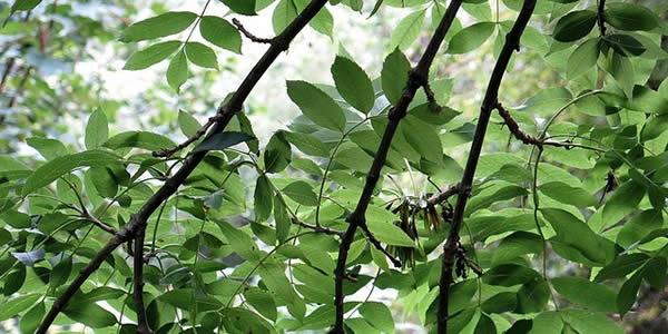 ash trees filtering sunlight