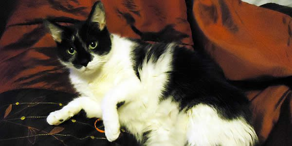 photograph of a black-and-white tuxedo cat on a brick-colored bed spread
