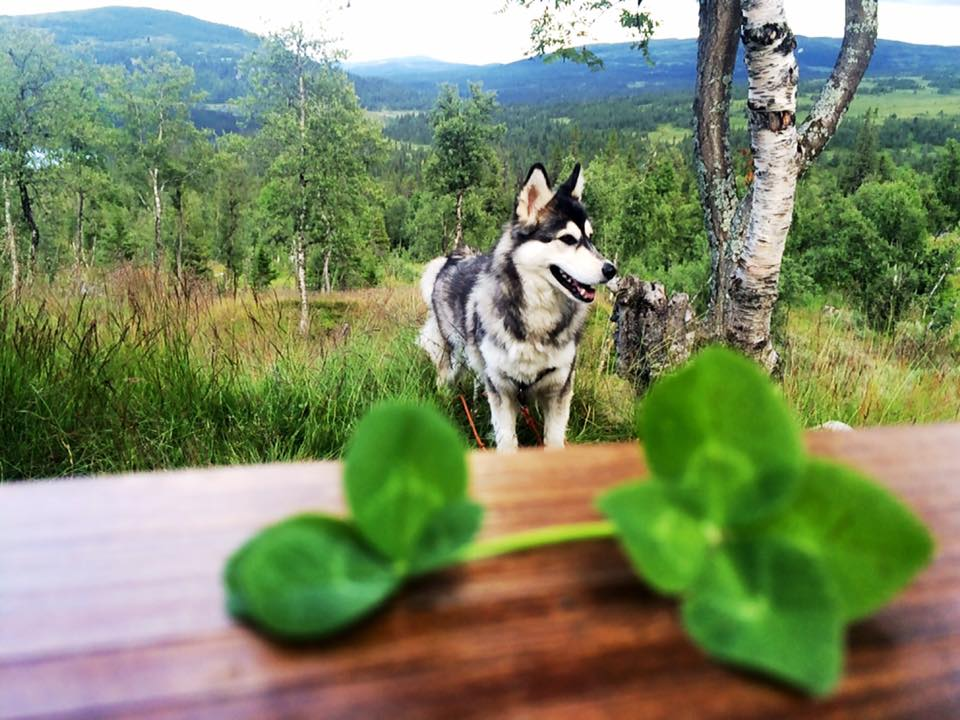 a close-up photograph of a four leaf clover with a dog in the background