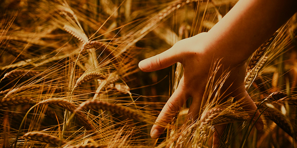 a young person's hand brushing the top of wheat growing in a field