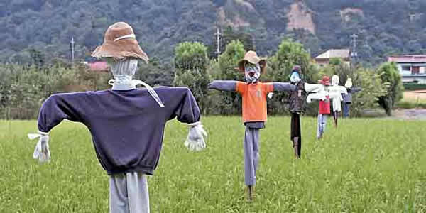 a series of scarecrows in a rice paddy
