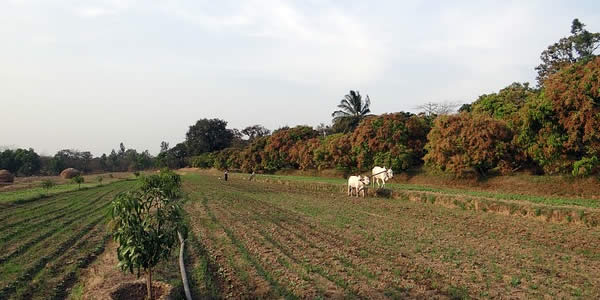 a farmer ploughing a field with an oxen-droawn plough