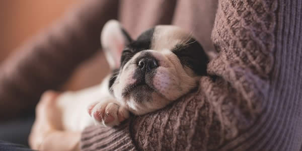 a puppy - likely a french bulldog - asleep in a woman's arms