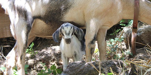 a baby goat standing beneath the sheltering form of his mother