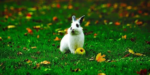 a white rabbit photographed next to a green apple in the grass surrounded by a smattering of autumn leaves