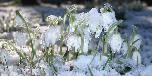 flowers sprouting through thawing snow
