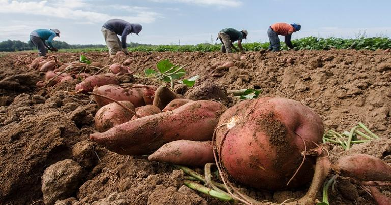 Unhealthy understandings of where our food comes from. Migrant workers, in distance, delicately lift and separate the greens from large sweet potatoes, at Kirby Farms in Mechanicsville, VA on Friday, Sept. 20, 2013.