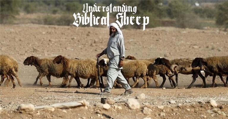 Understanding Biblical Sheep