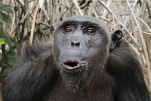 No ritual for chimps