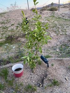 Here's our little lime tree.