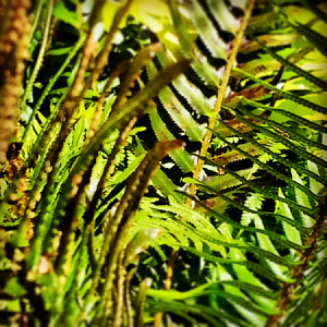 ferns in sunlight