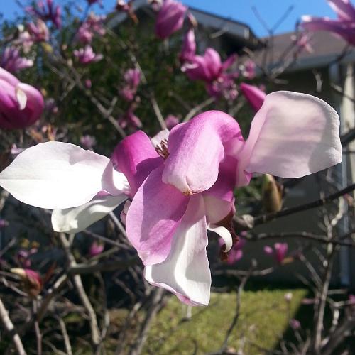 tulip magnolia 2016 d.vandiver