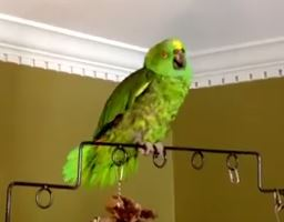 Poncho the Parrot