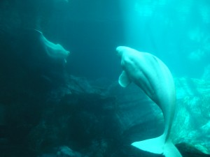 Beluga whales swimming in a bluish cave with light illuminating them in the ocean.