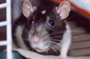 rat by Kai Schreiber on Flickr