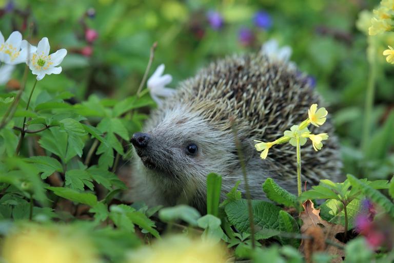 hedgehog-548335_1920