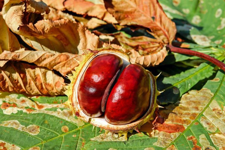 chestnut-2740751_1920