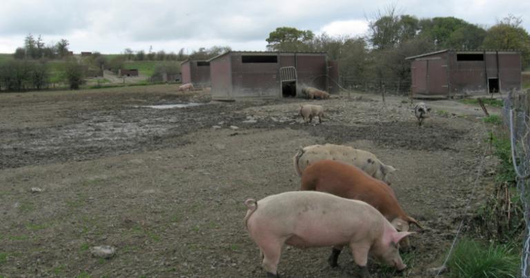 Pig farm in Belgium