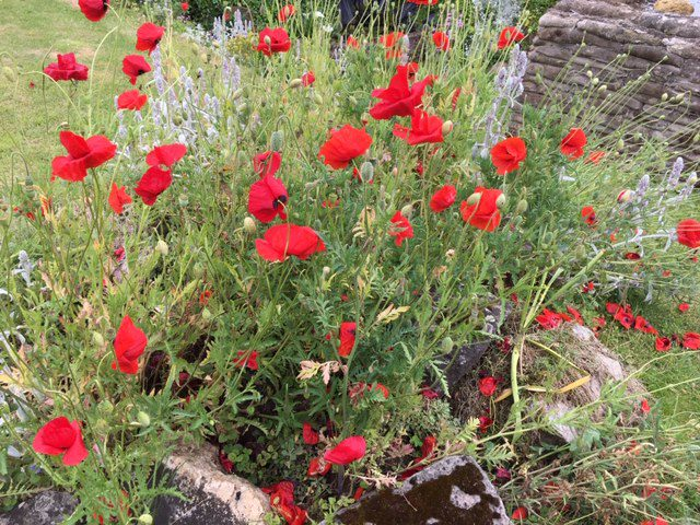 Poppies on the Western Front