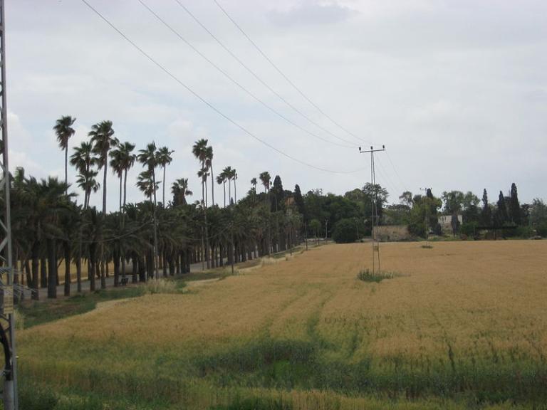 Israeli grain