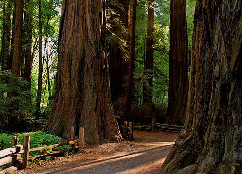 Henry Cowell State Park path