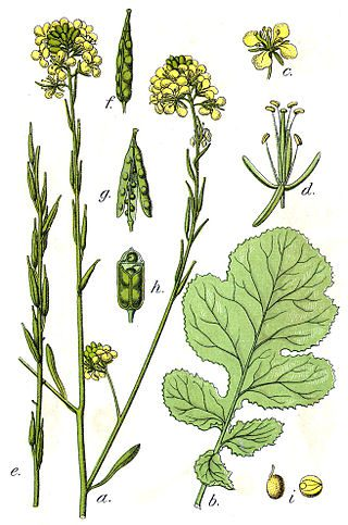 Black mustard, illustrated