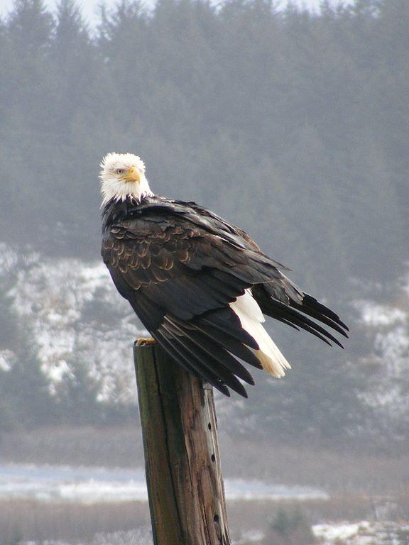 Bald eagle, not in Arabia
